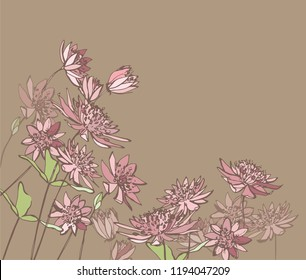 Astrantia.Pink garden flowers. Graphic flowers. Botanical illustration. Garden plants.