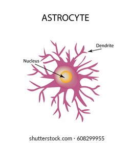 Astrocyte structure. Nerve cell. Infographics. Vector illustration on isolated background