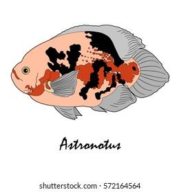 Astronotus Saltwater Aquarium Fish vector illustration