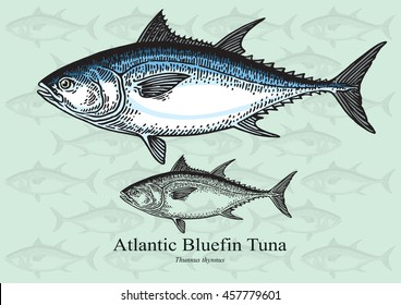 Atlantic Bluefin Tuna. Vector illustration with refined details and optimized stroke that allows the image to be used in small sizes (in packaging design, decoration, educational graphics, etc.)