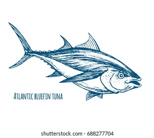 Atlantic bluefin tuna.Hand drawn sketch vector. Endangered species of marine fish.
