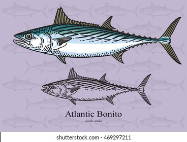 Atlantic Bonito. Vector illustration with refined details and optimized stroke that allows the image to be used in small sizes (in packaging design, decoration, educational graphics, etc.)