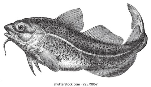 Atlantic cod (Gadus morhua) / vintage illustration from Meyers Konversations-Lexikon 1897