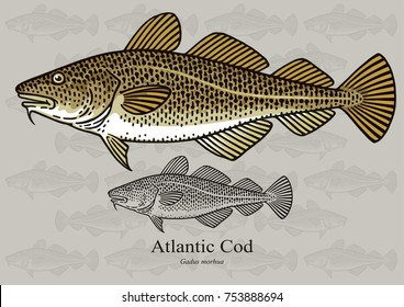 Atlantic Cod, Skrei. Vector illustration with refined details and optimized stroke that allows the image to be used in small sizes (in packaging design, decoration, educational graphics, etc.)
