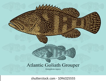 Atlantic Goliath Grouper. Vector illustration with refined details and optimized stroke that allows the image to be used in small sizes (in packaging design, decoration, educational graphics, etc.)