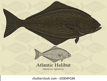 Atlantic Halibut. Vector illustration with refined details and optimized stroke that allows the image to be used in small sizes (in packaging design, decoration, educational graphics, etc.)