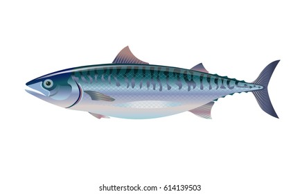 Atlantic mackerel fish. Vector illustration.