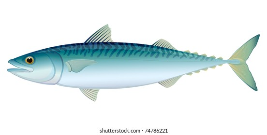 Atlantic Mackerel (Scomber scombrus) saltwater fish.