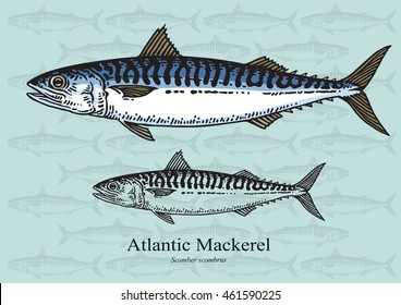 Atlantic Mackerel. Vector illustration with refined details and optimized stroke that allows the image to be used in small sizes (in packaging design, decoration, educational graphics, etc.)