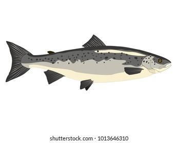 Atlantic salmon fish vector isolated on a white background
