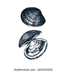 Atlantic surf clam illustrations. Edible molluscs. Shellfish and seafood restaurant design element. Hand drawn sea clams sketch isolated on white background. For menu, recipes, logos, flyer design.