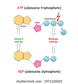 ATP and ADP. adenosine diphosphate, and adenosine triphosphate. Absorb and Release energy into cell. Vector illustration. Poster for education and science