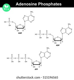 ATP, ADP and AMP chemical structures, skeletal style, 2d chemical vector illustration, isolated on white background, eps 8
