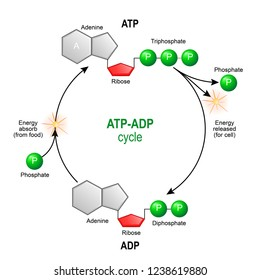 ATP ADP cycle. Adenosine triphosphate (ATP) is a organic chemical that provides energy for cell. intracellular energy transfer. Adenosine diphosphate (ADP) is organic compound for metabolism in cell