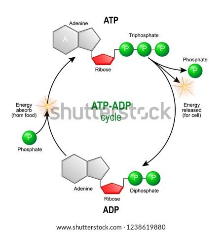 ATP ADP 주기아데노신 삼인산염(ATP)은 세포를 위해 에너지를 제공하는 유기 화학물이다.세포 내 에너지 전달아데노신 디인스포트(ADP)는 세포 내 신진대사를 위한 유기 화합물이다