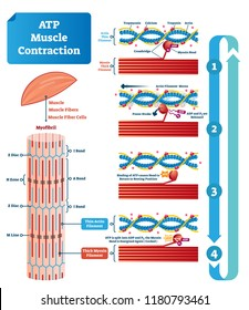 ATP muscle contraction cycle vector illustration labeled scheme. Educational diagram with muscle, fibers and cells. Structure of myofibril with thin and thick filament.