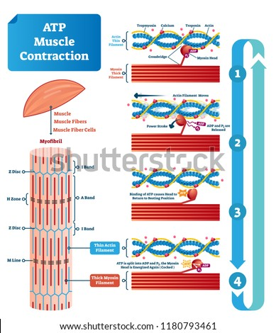 Atp Muscle Contraction Cycle Vector Illustration Stock Vector