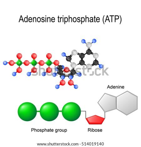 Atp Structural Chemical Formula Model Adenosine Stock Vector