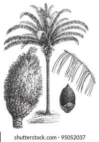 Attalea maripa (Maximiliana regia) / vintage illustration from Meyers Konversations-Lexikon 1897