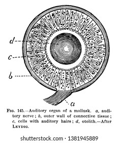 Auditory Organ cells with auditory hairs, vintage line drawing or engraving illustration.