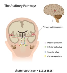 Auditory cortex images stock photos vectors shutterstock ccuart Image collections