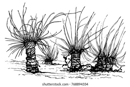 Aulactinia veratra or green anemone. Sea anemones group. Ink vector illustration of Actiniaria. Underwater marine predatory animals like flowers