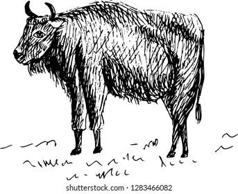 Aurochs. Hand drawn illustration.