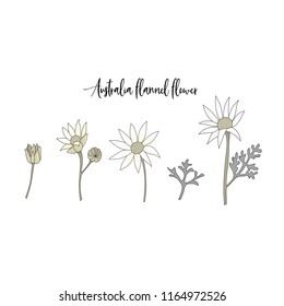 Australia flannel flower hand drawn in vector on white