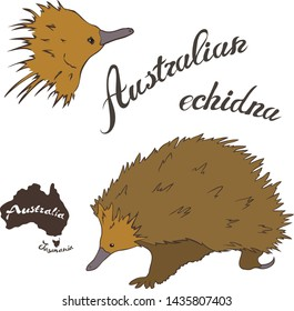 Australian echidna vector image isolated on white background. Spiny anteater in full growth and head. Australian needle-covered animal with a long nose. Fauna Australia. Echidna realistic design.