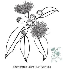 Australian Hand drawn Native Gum nut Floral Vector Illustration