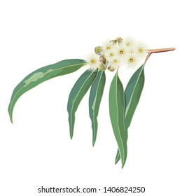 Australian Native Eucalyptus Gum tree cream flowers on an isolated background natural design