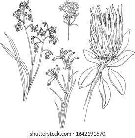 Australian native flora hand drawn illustration set. Black and white vector drawing of Protea, Waxflower, Kangaroo paw, Tasmanian Flax lily. Botanical illustration of Australian native plants.