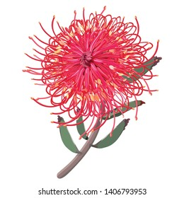 Australian Native grevillea plant front view isolated on a white background