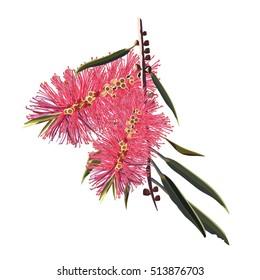 Australian Red Bottle brush Flowers