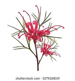 Australian Red Grevillea Native Flower