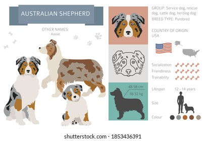 Australian shepherd dog isolated on white. Characteristic, color varieties, temperament info. Dogs infographic collection. Vector illustration
