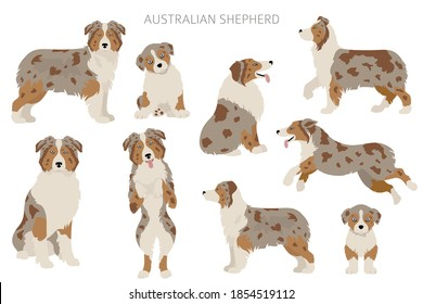 Australian shepherd dogs set. Color varieties, different poses. Dogs infographic collection. Vector illustration