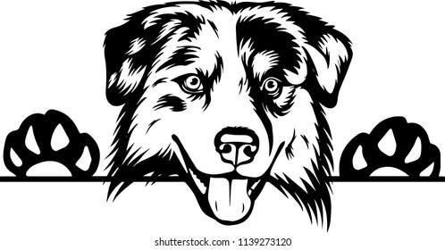 Australian Shepherd Sheltie dog breed face head isolated pet animal domestic pet canine puppy purebred pedigree hound portrait peeking paws smiling smile happy art artwork illustration design