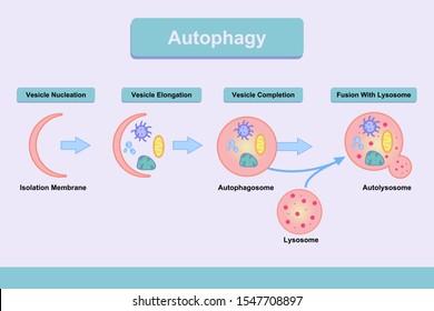 Autophagy process illustration describing step by step