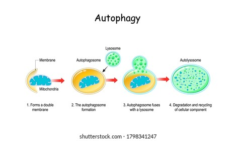 Autophagy steps. Schematic diagram. Natural mechanism in the cell that removes unnecessary components. Vector illustration