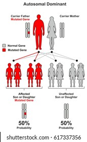 Autosomal Dominant Hereditary Trait infographic diagram including parents father and mother probability of son and daughter to be affected or unaffected by mutated gene for genetic science education