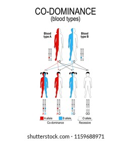 autosomal dominant or autosomal recessive for example A and B blood types in humans show co-dominance (O type is recessive to A and B). genetic disorders. illustration for educational, science use