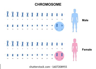 Autosome and sex chromosome, Normal human karyotype, Men and Women. DNA molecule.