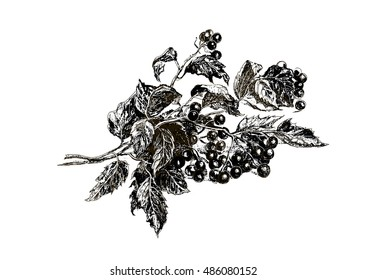 Autumn branch with ripe berries Viburnum , drawn by the stylus in graphics. Black and white