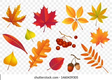 Autumn falling leaves isolated on transparent background. Yellow foliage collection. Rowan, oak, maple, birch and acorns. Colorful autumn leaf set. Vector illustration.