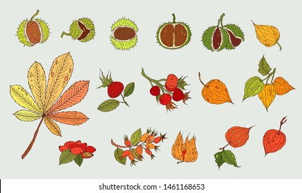 Autumn fruit and leaves collection. Forest nature objects set. Chestnuts, chestnut leaf, dog rose, physalis. Hand drawn autumn forest fruit icons. Isolated  botanical objects on light background.