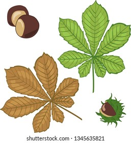 Autumn Leaf, chesnut leaves vector isolated, white background