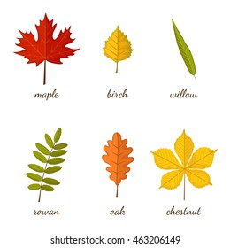 Autumn multicolored leaves set with names on white background. Maple, birch, willow, rowan, oak, chestnut. Vector illustration in cartoon style