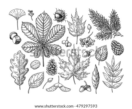 Autumn vector set with leaves, berries, fir cones, nuts, mushrooms and acorns. Detailed forest botanical elements for decoration. Vintage fall seasonal decor. Oak, maple, chestnut leaf drawing.