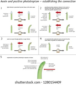 Auxin and positive phototropism - establishing the connection
